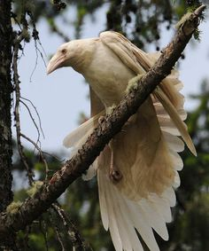 Qualicum, White Raven Capital of the World There is little doubt that Qualicum is the White Raven Capital of the World, and just to prove th...