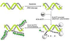 Apoptosis Assays-TUNEL Assay Detect in Situ DNA Strand Breaks - http://www.bioadvisers.com/apoptosis-assays-tunel-assay-detect-situ-dna-strand-breaks/