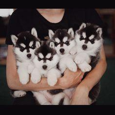Так много щенков Хаски в одном Instagram аккаунте вы еще не видели
