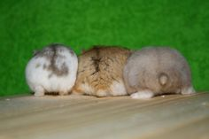 Campbell Dwarf Hamster butts <3