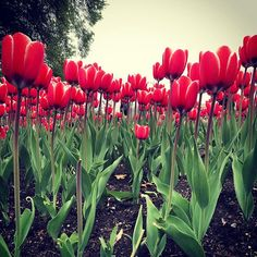 #MyOttawa #Ottawainbloom19 #OttawaLife #Ottawa #Canada #Tulipfestival #tulips #flowers # Ottawa Canada, Tulip Festival, Tulips Flowers, Vegetables, Plants, Instagram, Vegetable Recipes, Veggie Food, Planters