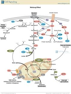Receptor tyrosine kinases rtks are very important signaling warburg effect cst ccuart Images