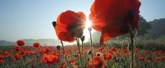Mohnblumen by aboranit Paint Prep, Red Poppies, Tourism, Pumpkin, Vacation, Holiday, Nature, Flowers, Spring
