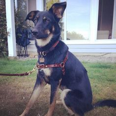 Very pretty front clipping leather dog harness from AZ Leatherworks (Fort Langley).