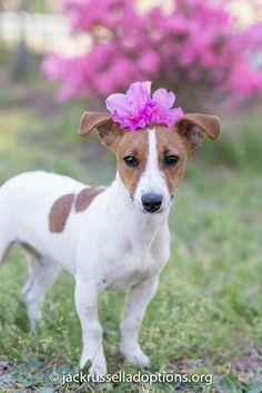 Sophie, Adoptable Jack Russell Terrier | Georgia Jack Russell Rescue, Adoption & Sanctuary