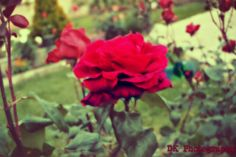 DK Photography! directly from our garden, the most beautiful red rose!