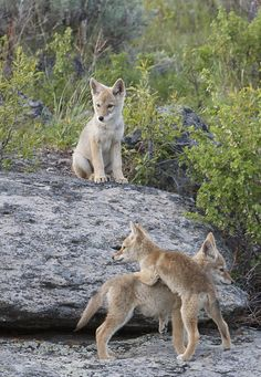 Coyote pups playing Coyote Pup, Coyote Animal, Beautiful Wolves, Animals Beautiful, Fantasy Wolf, Animal Antics, Wild Dogs, Animal Totems, Fauna