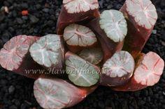Haworthia maughanii 'purple seeding -N28''자만상 실생-N28 JYH-OM-M028小苗-B0000*1-15