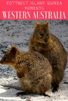 Rottnest Island is ferry ride from Freemantle, Western Australia. Coast Australia, Western Australia, Australia Travel, Visit Australia, Melbourne, Sydney, Great Barrier Reef, Quokka, Top Travel Destinations
