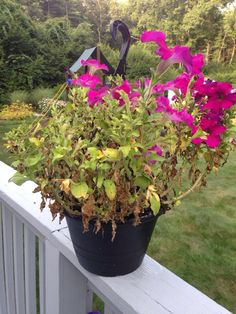 We think that there are several issues with your petunia. 1. It looks like it needs fertilizer. Has it been fertilized since you bought it? Petunias need either a good application of a time-release fertilizer in June or every other week liquid fertilizer used according to directions.  2. This plant looks like it needs
