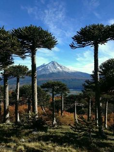 Araucaria trees from Conguillio National Park, Araucanía Region, Chile. South America Map, South America Destinations, Travel Destinations, Beautiful World, Beautiful Places, Visit Chile, Backpacking South America, America Memes, Equador