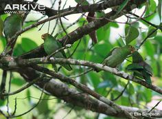 Group-of-brown-backed-parrotlets.jpg (650×477)