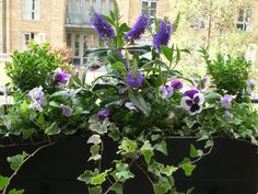 Autumn and winter window box... Hebe, pansies and ivy