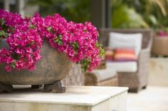 Plant Bougainvillea in a pot. Choose compact varieties such as 'Singapore Pink' , 'Temple Fire' or 'Purple Queen'. When planting take special care not to break up the root ball as these plants are sensitive about this. Bougainvillea, Modern Landscaping, Garden Landscaping, Container Plants, Container Gardening, Landscape Design, Garden Design, The Secret Garden, Secret Gardens
