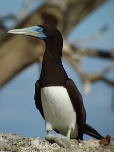 Brown Booby, Brown Booby  Sula leucogaster    Rare in Gulf of Mexico, mainly summer.