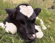 Baby Farm Animals, Baby Cows, Baby Animals Pictures, Cute Little Animals, Cute Animal Pictures, Cute Funny Animals, Animals And Pets, Cute Baby Cow, Cute Cows