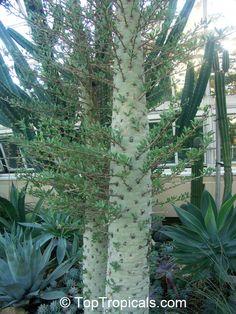 Fouquieria columnaris        Boojum       Fouquieriaceae Family
