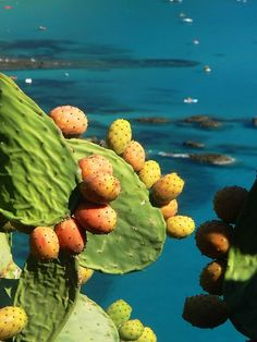 Capo Vaticano - Calabria, Italy  Cactus Pears.  I remember these growing in the backyard of my grandmother's apartment.