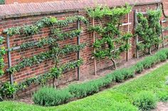 An old-fashioned technique for guiding tree growth, espalier, adds beauty and function to the garden