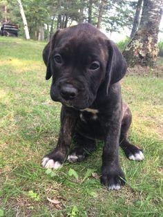 Daniff puppies! half great dane, half mastiff. I wanna