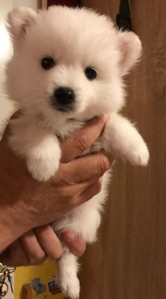 Japanese spitz #Japanese spitz #dog #hund #small #smalldog #cute #puppy #valp #white #hvit