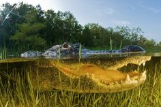 American alligator shows his toothy grin in this portrait, taken in the Florida Everglades