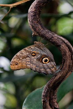 Owl Butterfly at ZSL London Zoo, via Flickr.