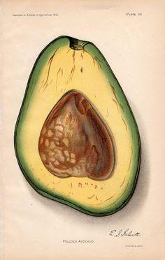 1912 avocado original antique botanical fruit