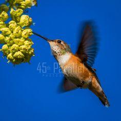 A female Rufous Hummingbird out shopping