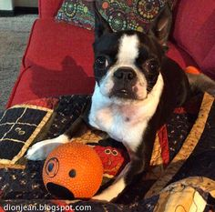 Sinead the Boston terrier and her ball. It sort of looks like her, don't you think?