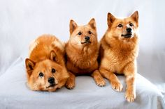 FINNISH SPITZ, Known as Finland's national dog, Finnish Spitz is a brave hunting dog then and now. This proud dog is likewise called Suomenpystykorva (meaning Finnish Pricked Ear Dog), Finnish Barking Bird Dog