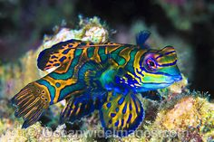 A Mandarin Fish in the Great Barrier Reef shows its full array of colors.