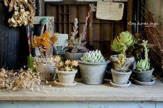 フローラのガーデニング・園芸作業日記-多肉植物