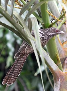 Picture of a cuckoo bird.