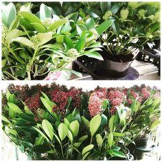 【enyaflowers】さんのInstagramをピンしています。 《おはようございます園舎です♪ ・ 今日は外売り場から『スキミア』です!ヨーロッパではとてもポピュラーで、この子達はオランダからやって参りました(^^)v ・ この写真よりかなり小さめなサイズもありますのでご用途に合わせてお選び下さいね^^ ・ #園舎 #観葉植物 #園芸 #グリーン #多肉植物 #エアープランツ #大小 #置物 #水耕栽培 #雑貨 #苔玉 #ハイドロ #季節の花 #切り花 #苗 #鉢植え #シルクフラワー #プリザーブドフラワー #アーティシャルフラワー#花屋 #神戸 #晴れ #お出掛け #神戸市 #コープリビング #甲南店 #食虫植物 #ドライフラワー #テラリウム #秋》