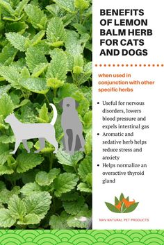 Lemon Balm is an aromatic and sedative herb that can help reduce anxiety and stress in dogs and cats. It also has thyroid balancing properties. Find a lemon balm containing herbal remedy for your dog or cat on our website!