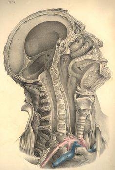 anatomy2.jpg (1083×1600)