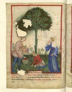 Nouvelle acquisition latine 1673, fol. 9v, Récolte des cerises aigres. Tacuinum sanitatis, Milano or Pavie (Italy), 1390-1400.  Keywords: houppelande