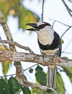Macuru-de-testa-branca, Capitão-do-mato, João-do-mato ou Macuru  (Notharchus hyperrhynchus)