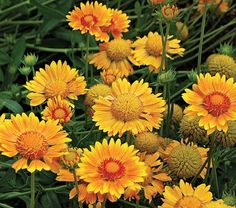 Holdon just planted this blanket flower in my garden. Now they each have their own plant here!