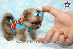 Micro Max - Micro Teacup Pomeranian Puppy #teacupdogslist #teacupdogs…