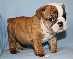 We WILL have a brindle English bulldog. And she shall be named Ethel.
