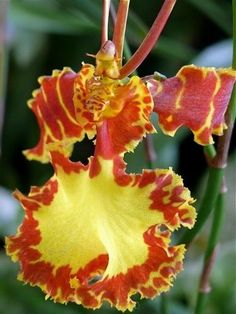 Spanish Dancer Orchid-Light and water requirements for orchid plants: https://www.houseplant411.com/houseplant/cymbidium-orchids-how-to-grow-care