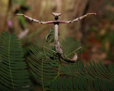Archimantis latistyla, the Stick Mantis or Large Brown Mantis in defense pose. http://www.visualnews.com/2013/09/orchid-mantis-5-praying-mantis-species-will-blow-mind-give-nightmares/
