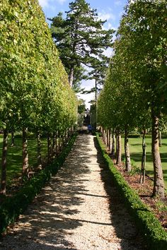 pleached-allee