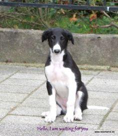 Amara , little Borzoi puppy