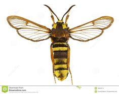 Hornet Moth (Sesia apiformis) 3.3 - 4.8 cm Europe