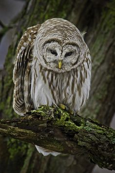 Looking a little down - This is a barred owl looking down towards the ground…