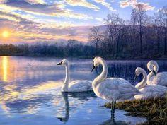 Cisnes en el lago al amanecer