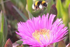 ZIRIPITI abelha bee